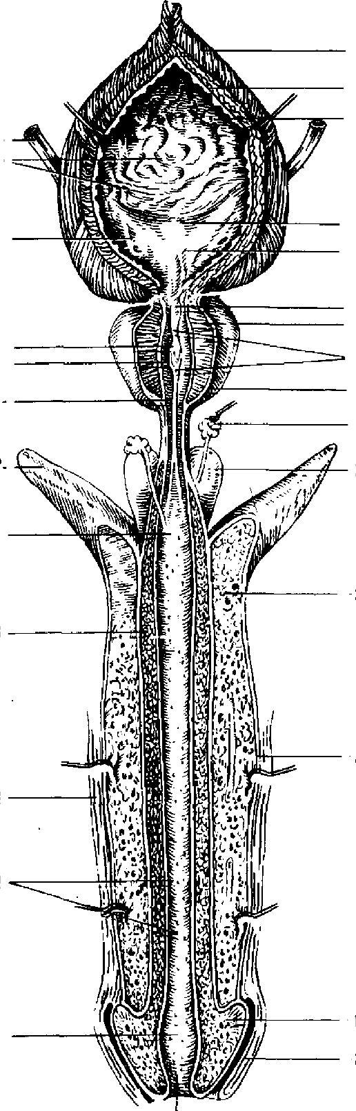 knyaginya-polovoy-organ