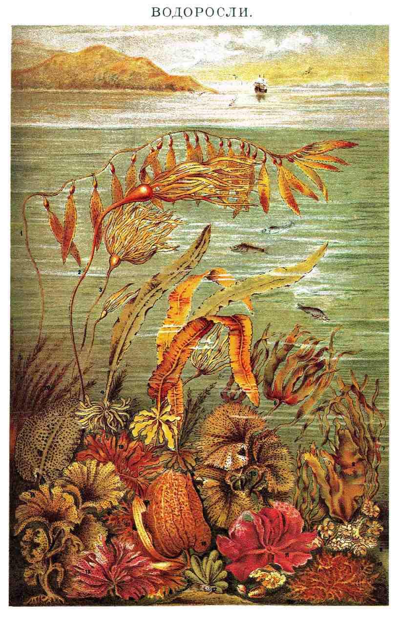 водоросли паразиты человека