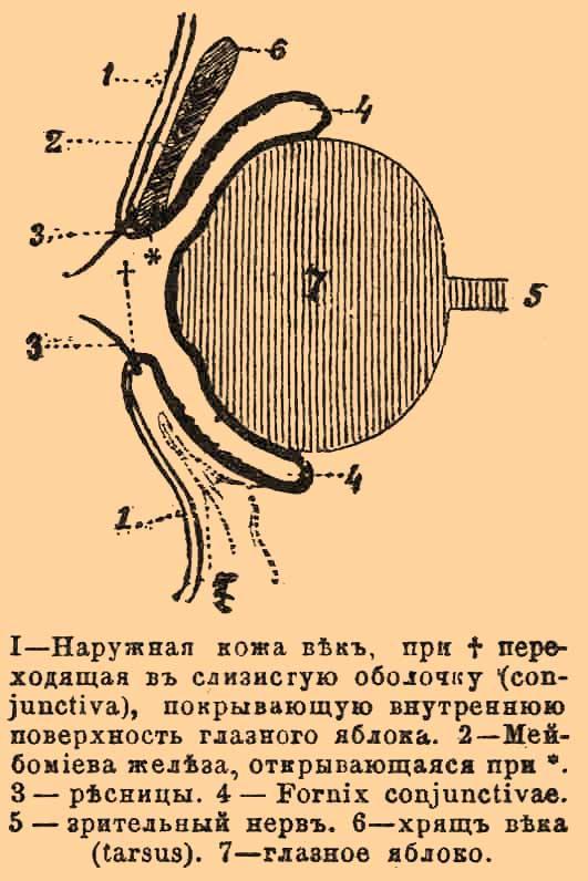 Железы Мейбомиевы фото