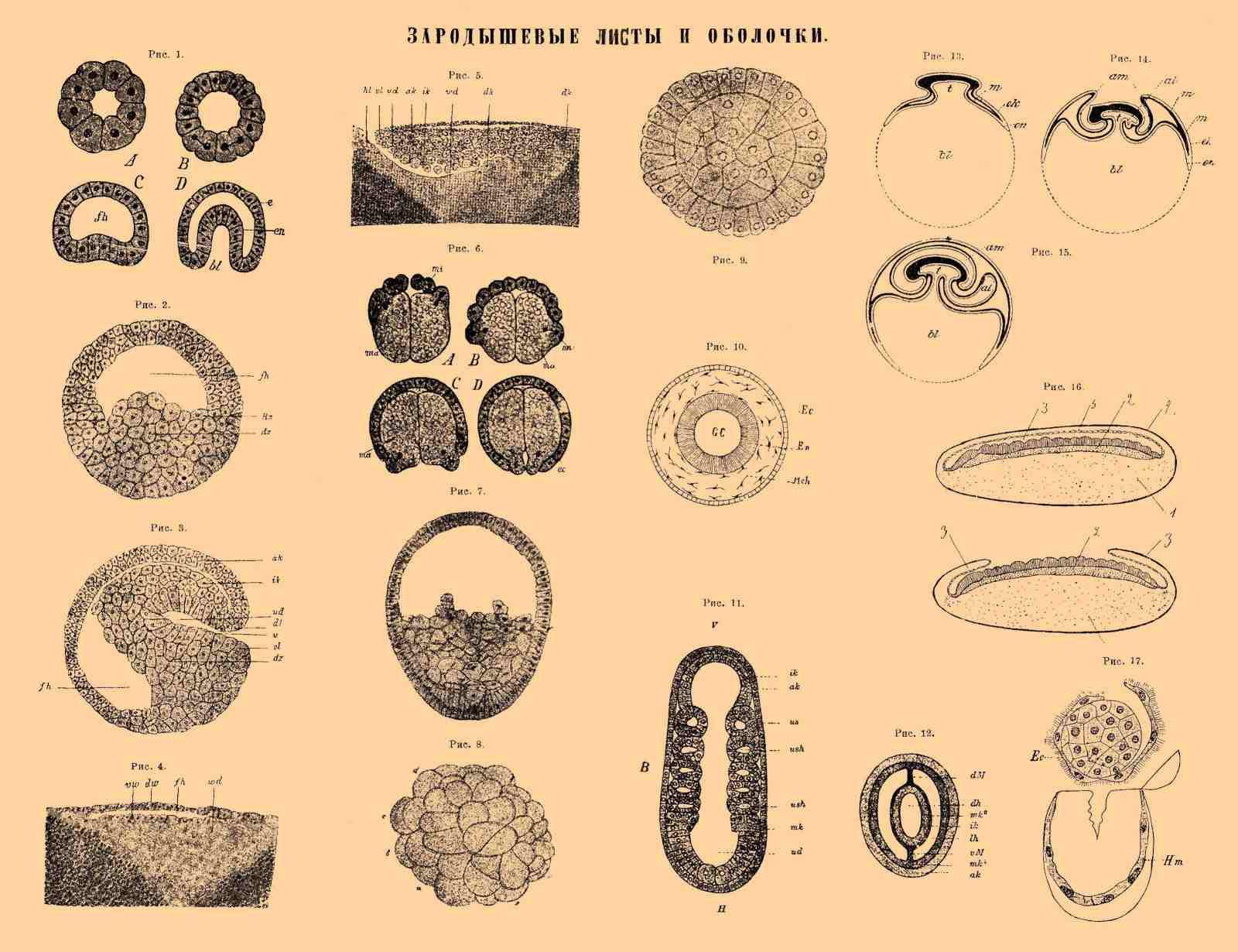 Эпителий Зародышевый фото
