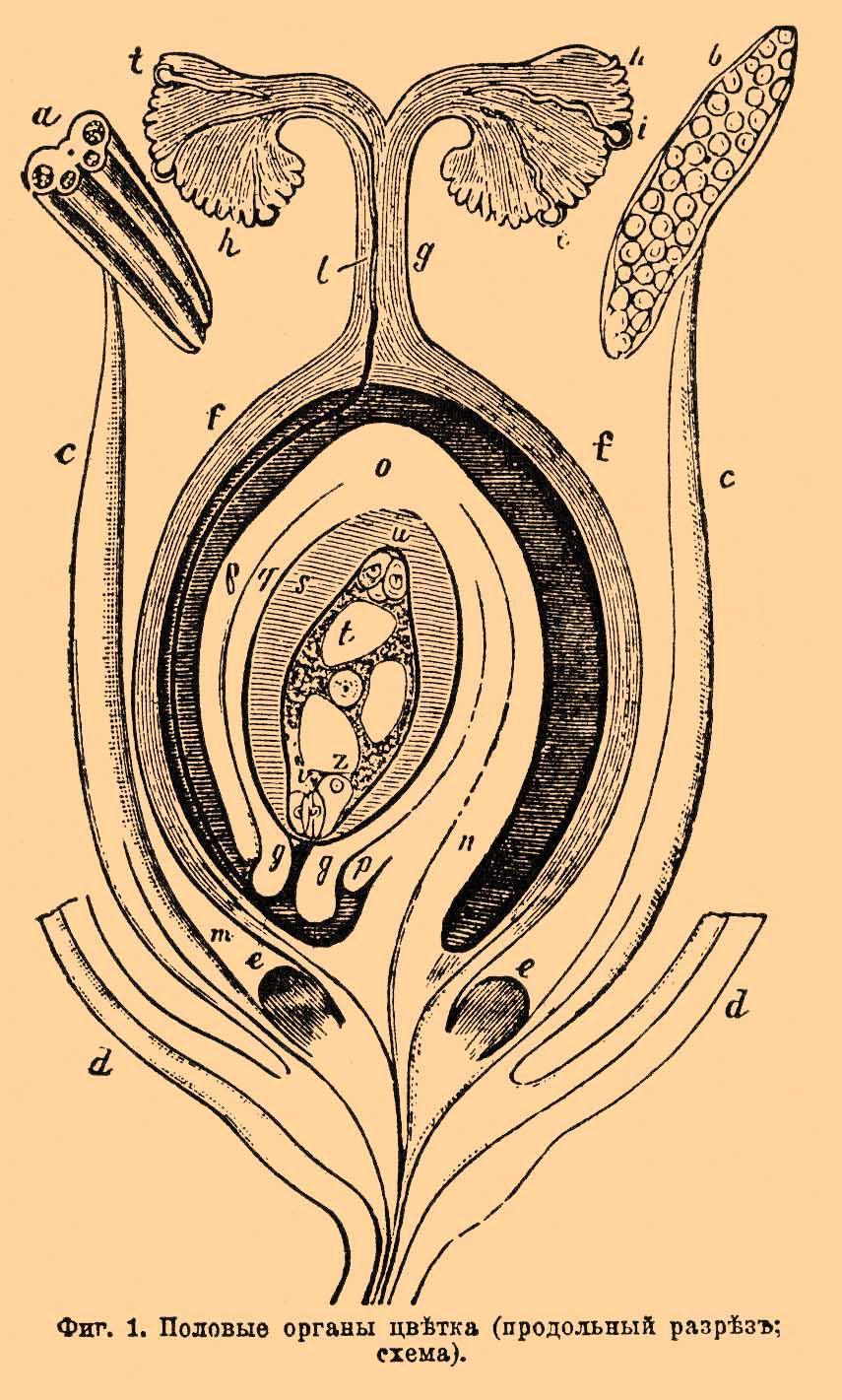 Фиг.  1. Половые органы цветка (продольный разрез; схема) .