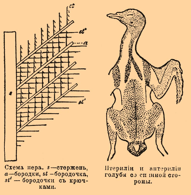 Схема пера. s — стержень,