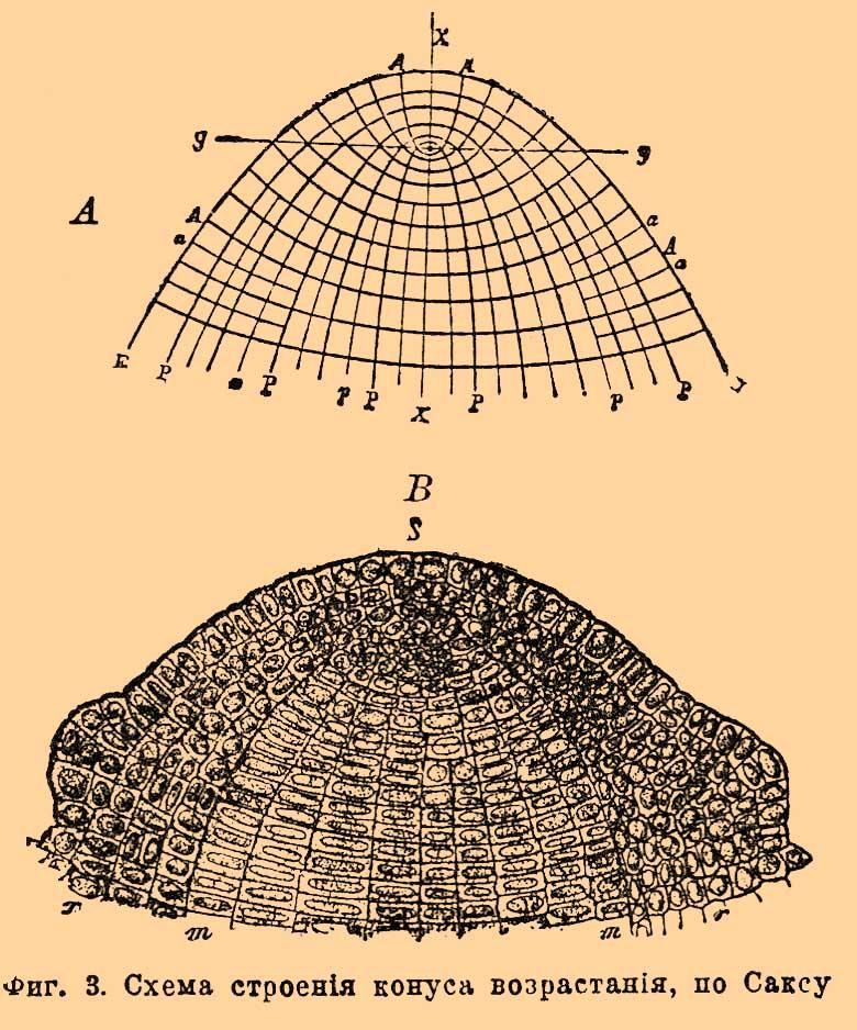Схема строения конуса