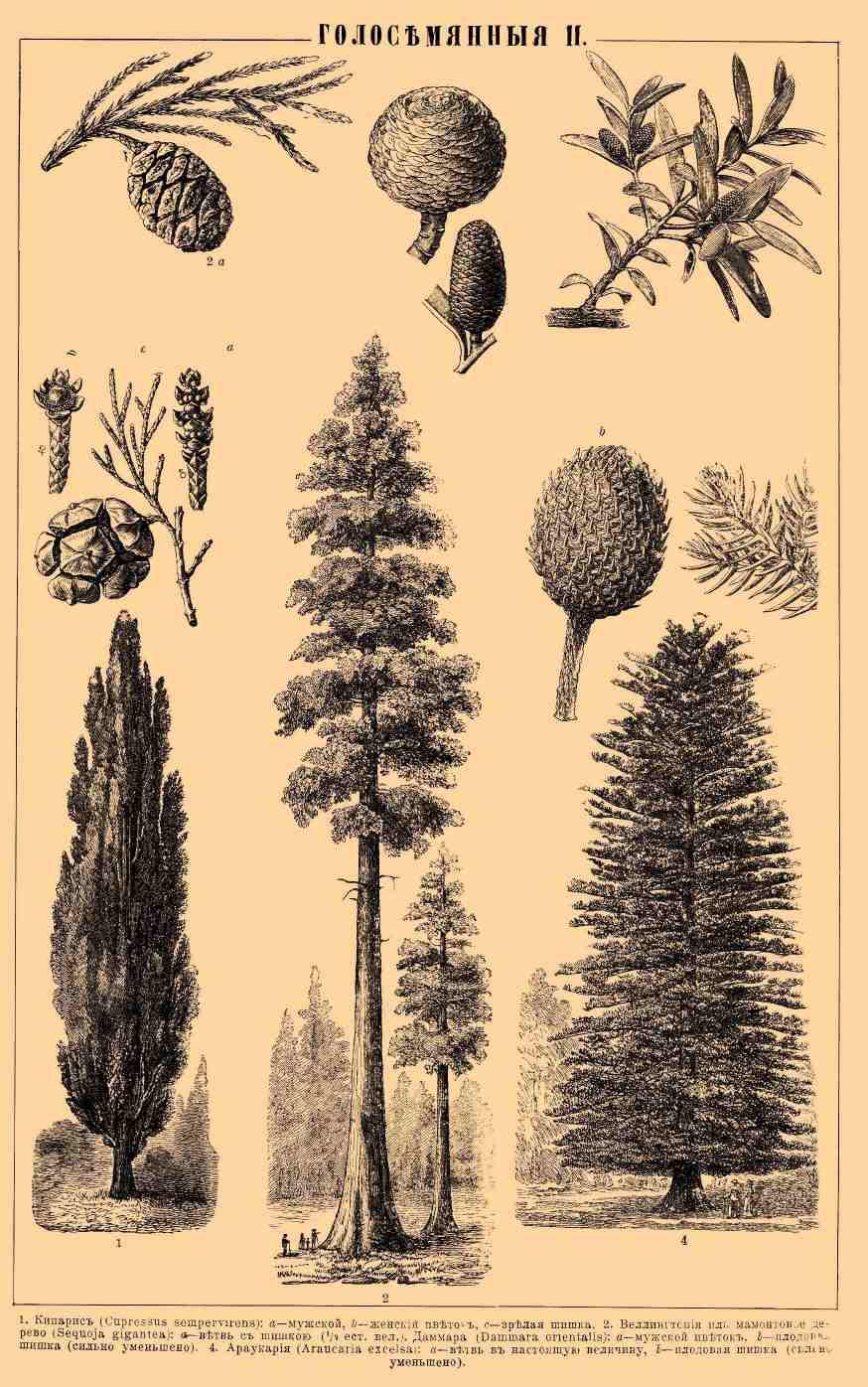 Саговые пальмы