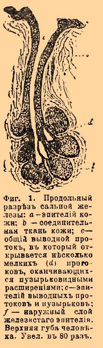 Железа Сальная