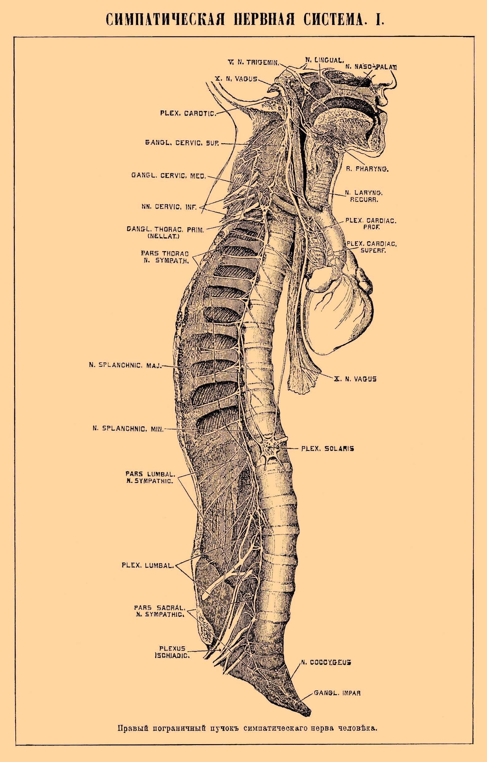 Схема нервного ствола