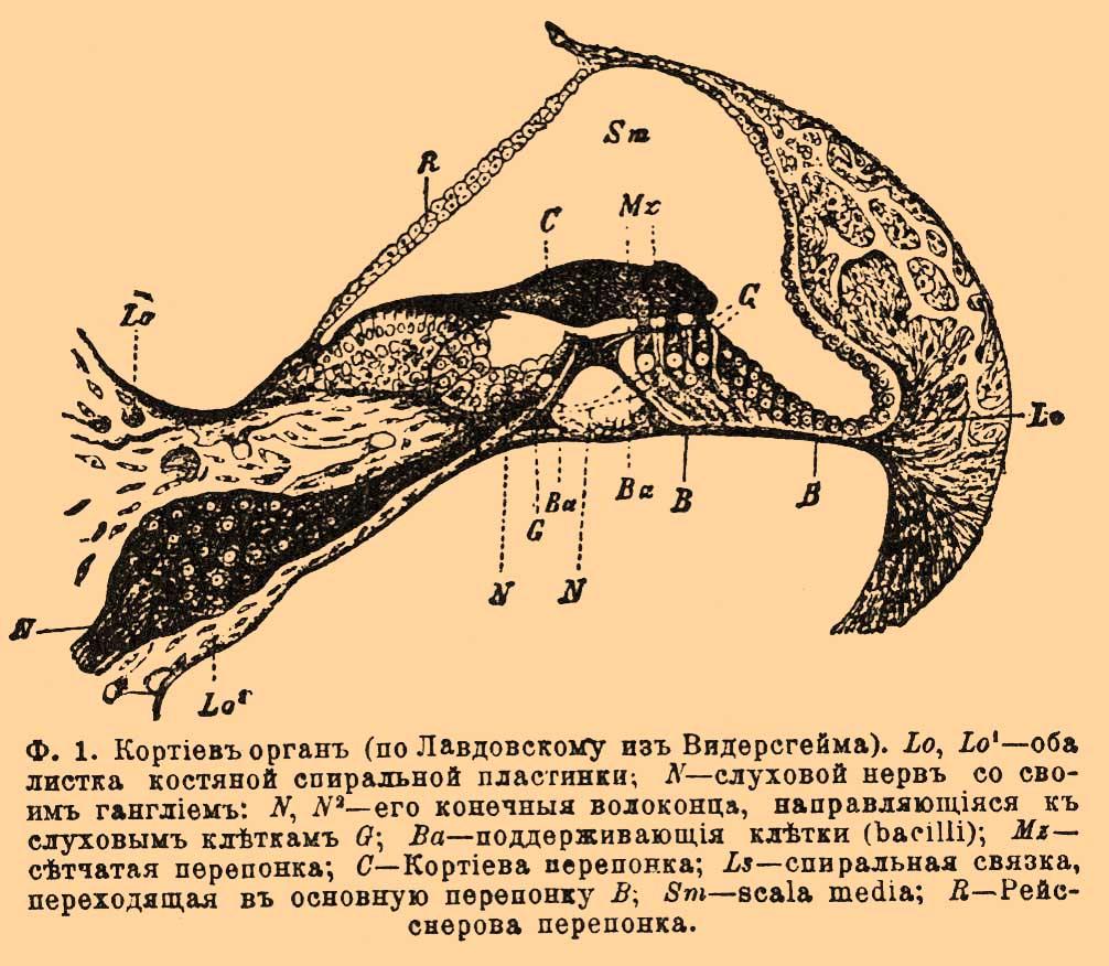 Орган спиральный фото