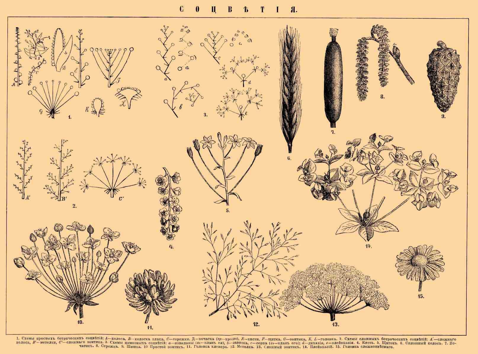 Схема соцветия метёлка