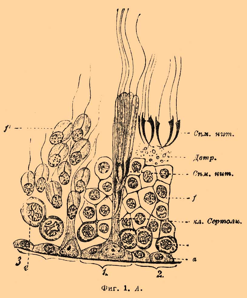 Сперматогенез фото