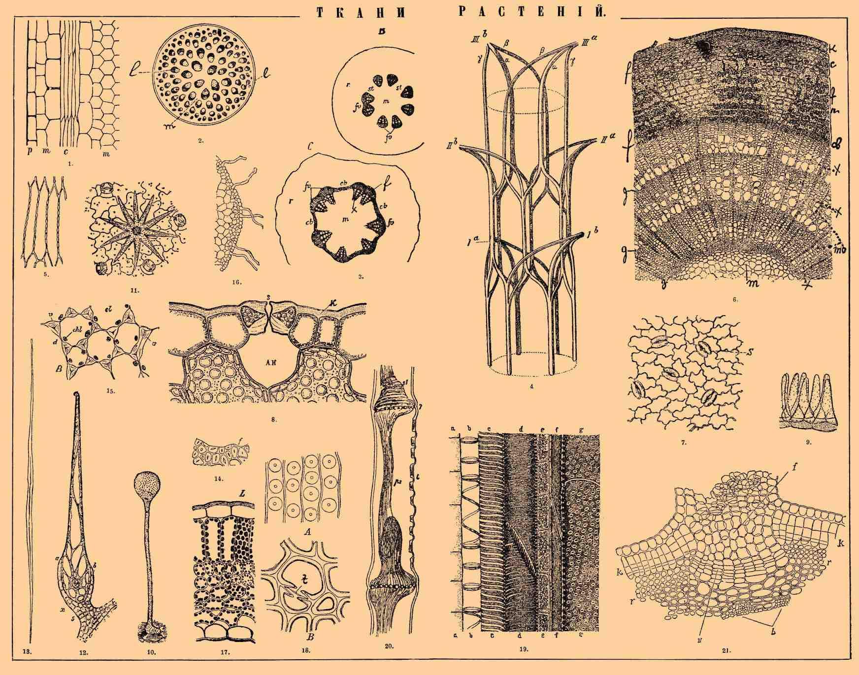 1. Продольный разрез через меристему.  Фиг.  2. Схема поперечного разреза однодольного растения.