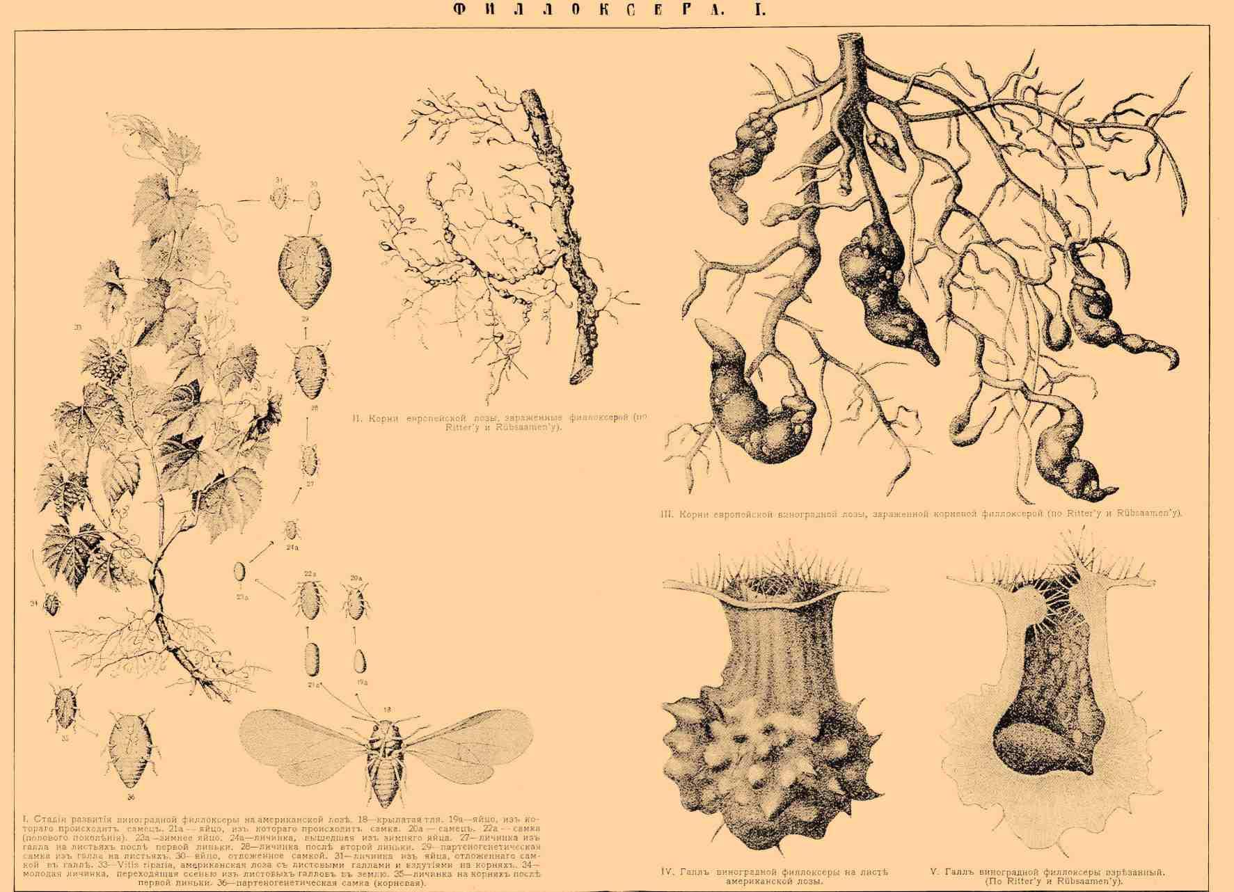 ФИЛЛОКСЕРА I. I. Стадии развития виноградной филлоксеры на американской лозе. 18 — крылатая тля. 19a — яйцо, из которого происходит самец. 21a — яйцо, из которого происходит самка. 20a — самец. 22a — самка (полового поколения). 23a — зимнее яйцо. 24a — личинка, вышедшая из зимнего яйца. 27 — личинка из галла на листьях после первой линьки. 28 — личинка после второй линьки. 29 — партеногенетическая самка из галла на листьях. 30 — яйцо, отложенное самкой. 31 — личинка из яйца, отложенного самкой в галле. 33 — Vitis riparia, американская лоза с листовыми галлами и вздутиями на корнях. 34 — молодая личинка, переходящая осенью из листовых галлов в землю. 35 — личинка на корнях после первой линьки. 36 — партеногенетическая самка (корневая). II. Корни европейской лозы, зараженные филлоксерой (по Ritter'y и Rübsaamen'y). III. Корни европейской лозы, зараженной корневой филлоксерой (по Ritter'y и Rübsaamen'y). IV. Галл виноградной филлоксеры на листе американской лозы. V. Галл виноградной филлоксеры взрезанный (по Ritter'y и Rübsaamen'y).