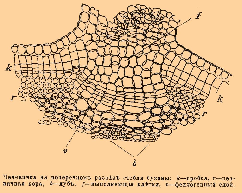 Перидерма
