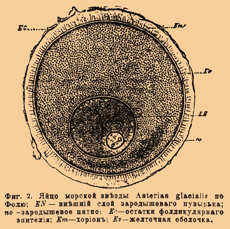 Эпителий Зародышевый
