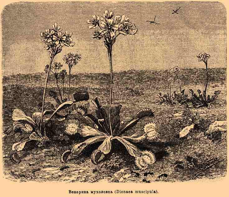 Венерина мухоловка уход и посадка в домашних условиях