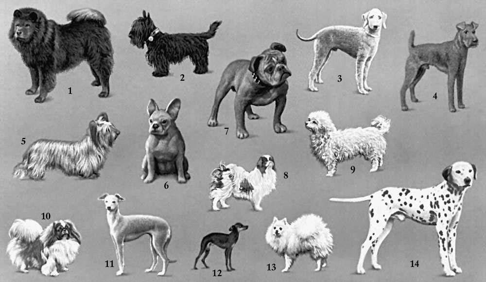 Самая большая собака в мире Дог по имени Зевс