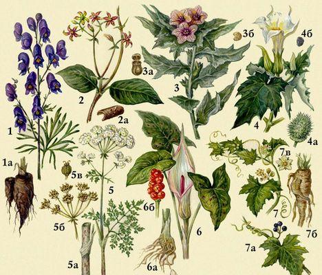 Ядовитые растения 1 аконит
