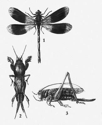 Взрослые формы насекомых 1 — стрекоза