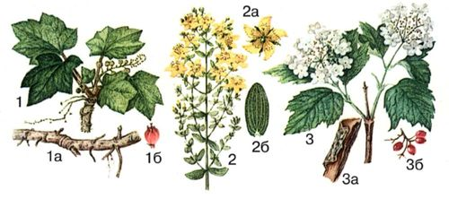 лечебные растения фото