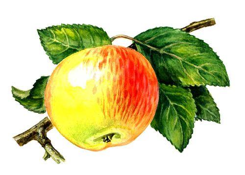 Плоды сортов яблони анис полосатый