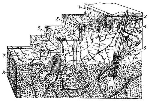 Схематическое изображение иннервации