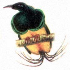 Удод нитчатая райская птица самец