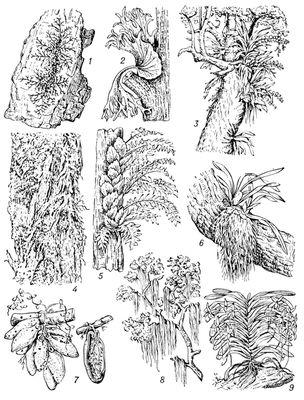 виды эпифитных мхов: