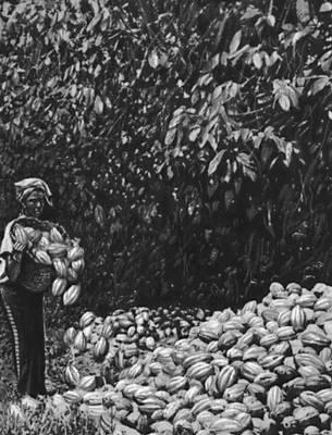 Сбор плодов какао на государственной