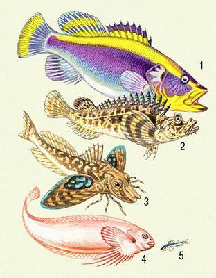 морской толстолобик это