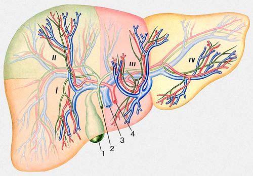 4 — печёночная артерия.