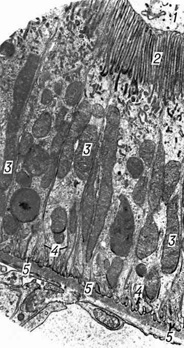 Базальная мембрана мышечного волокна - 3