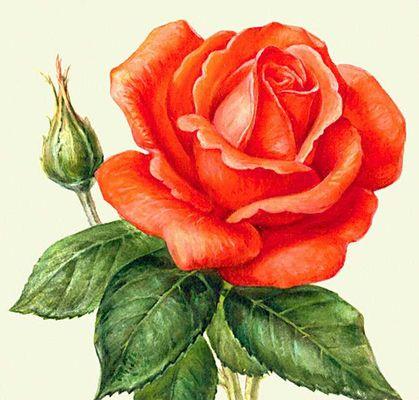 Фото роза большая