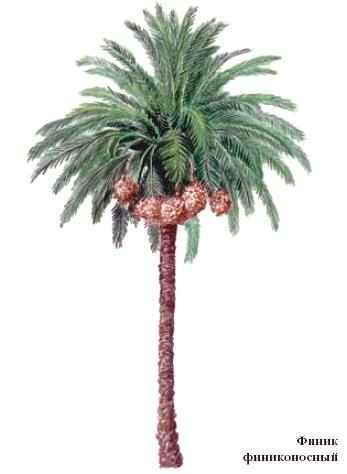 фото пальма дерево