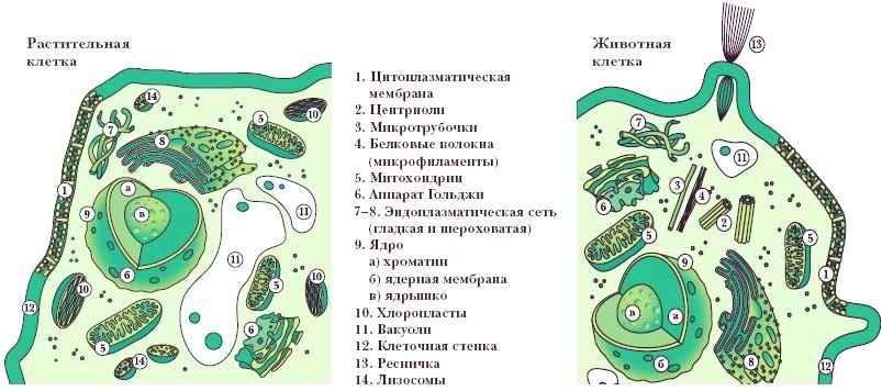 Культура клеток и тканей).