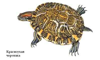 как выглядят яйца красноухих черепах фото