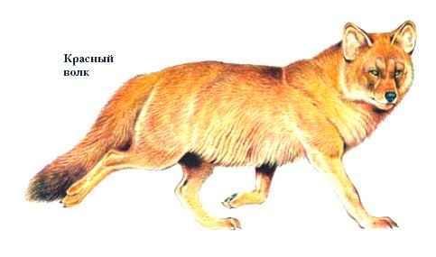 Красный волк сanis alpinus млекопитающее