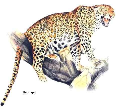 4115aaaf3b1e В неволе леопард живёт до 20 лет. Внесён в Красные книги МСОП и России. У  некоторых африканских народов леопард – священное животное  изображён на  гербе ...