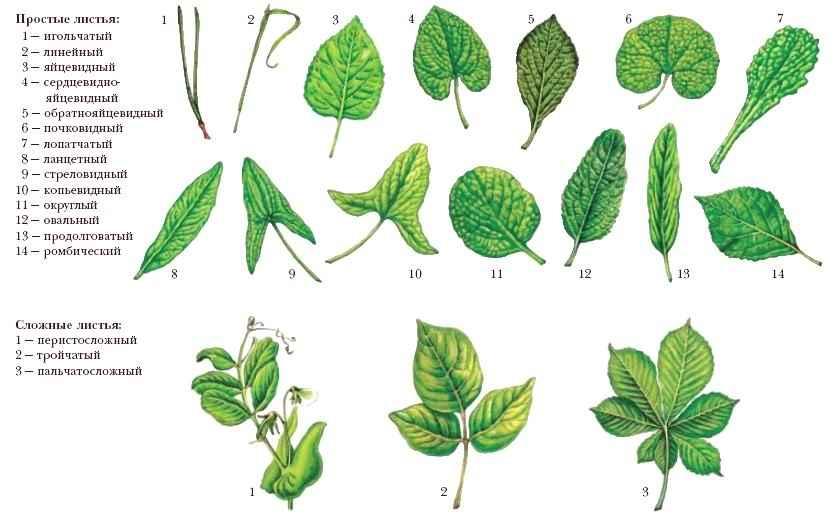 листья вместе