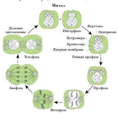 митотического цикла у