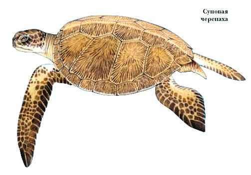 Панцирь черепахи рисунок