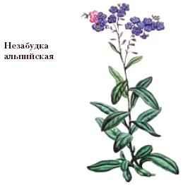 НЕЗАБУДКА