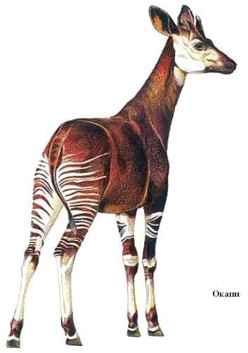 Жираф с короткой шей