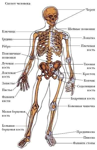 Для скелета мужчин характерны