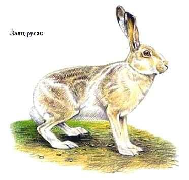 Зайцы-беляки являются достаточно плодовитыми животными