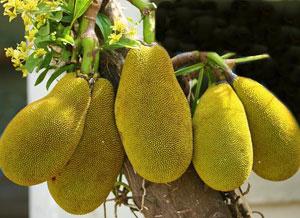хлебное дерево фото дерево