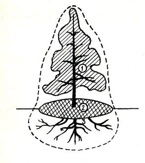 Рис. 45. Эдасфера растения: 1 - филлосфера; 2 - некроподиум; 3 - ризосфера
