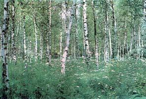 В одном из березовых лесов Подмосковья