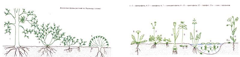 Жизненные формы. растений по Раункиеру (схема).