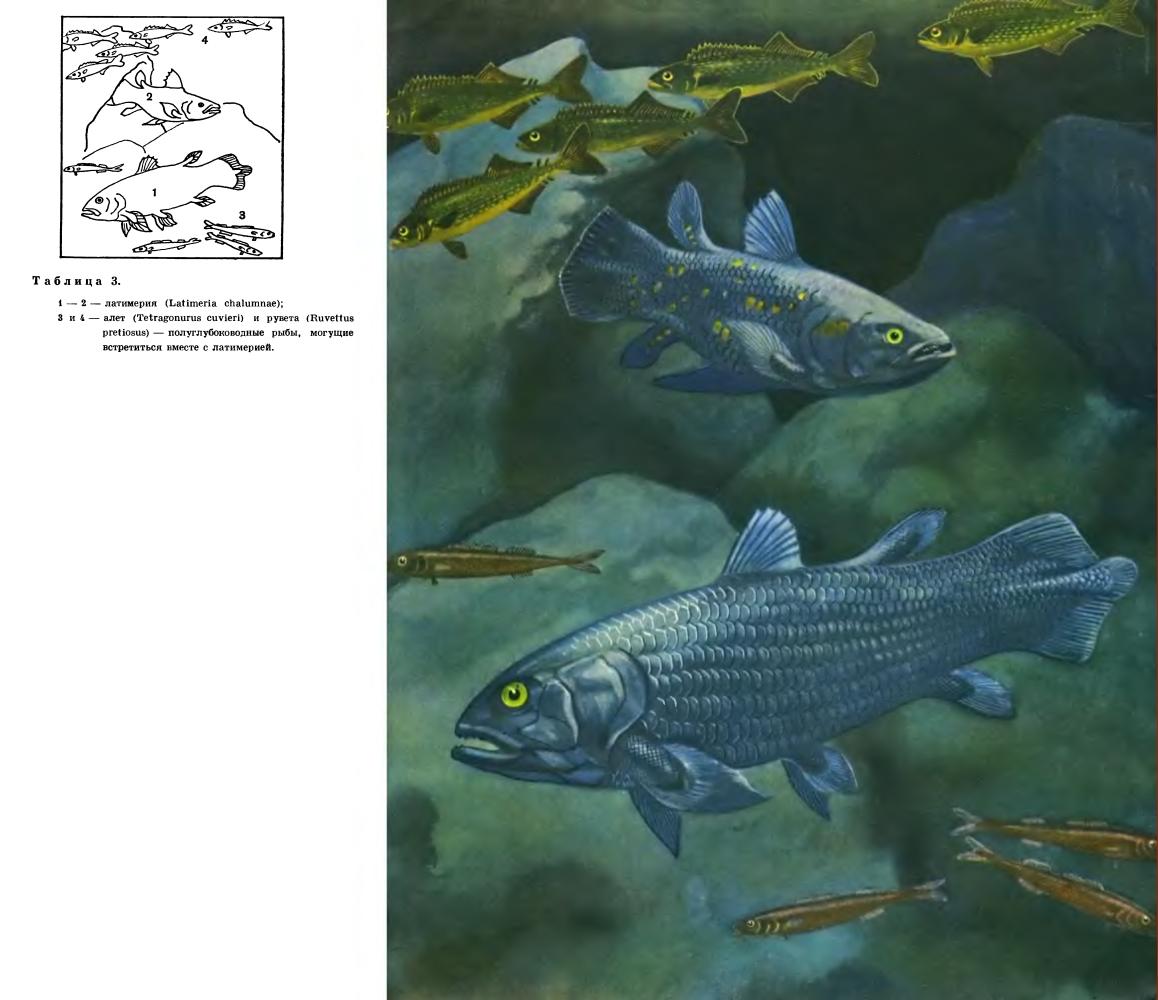 Отряд Целакантообразные (Coelacanthiformes)
