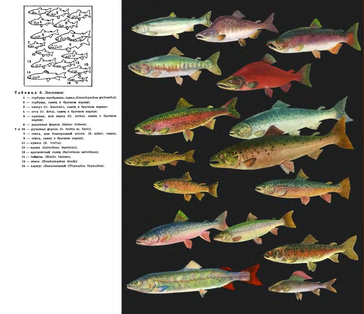 фото виды пресноводных рыб