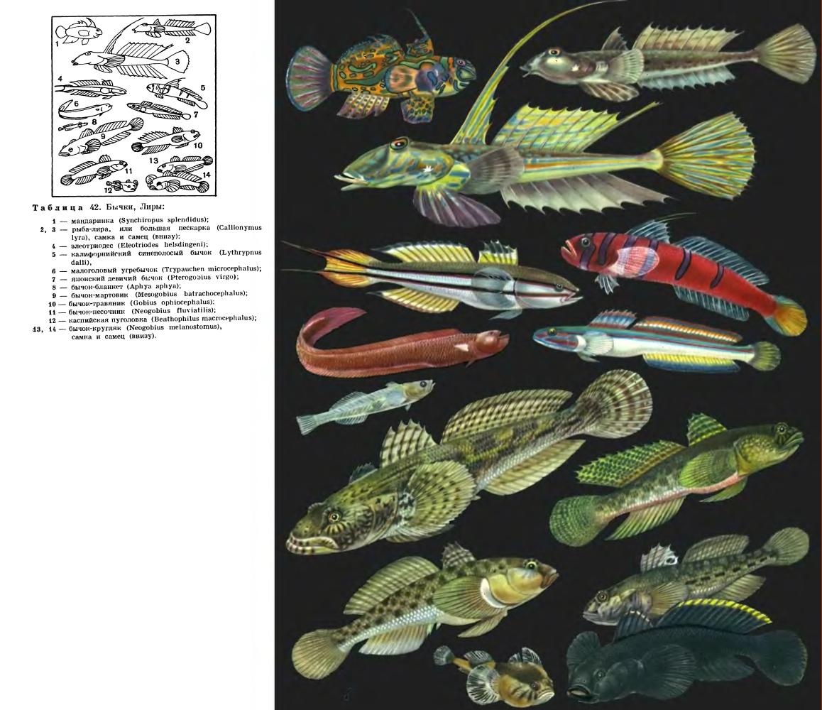 Семейство Бычковые (Gobiidae)